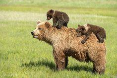 "51.3 mil Me gusta, 516 comentarios - SeaLegacy #TurningTheTide (@sea_legacy) en Instagram: ""Photo by @DaisyGilardini // Coastal grizzly bears in Alaska's Lake Clark National Park live in…"""
