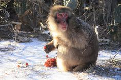 Residents at the Born Free USA Primates Sanctuary in south Texas awoke February 4th, 2011 to a dusting of snow and very low temperatures. But at least grapes are good chilled.