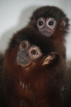 Tiny Baby Titi Monkey for Belfast Zoo