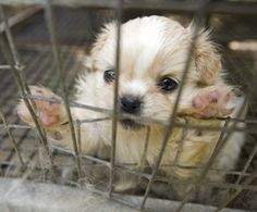 Read Seven Ways You Can Stop Puppy Mills written from The Humane Society of the United States. You are the key to stopping the cycle of cruelty. #rescue #puppymills