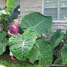Thailand Giant is the largest variety of Elephant Ear with giant, light-green leaves that are a true show-stopper in the summer garden. Spectacular! (Colocasia gigantea)