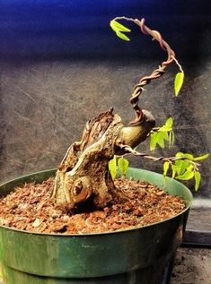 Here's a quick update on the development of my hollow trunked shohin hackberry. This is the original post. It has been trimmed in the interim (promise) but I have let it grow since the end of… Bonsai Fruit Tree, Fruit Trees, Pre Bonsai, Succulents, Berries, Plants, Shaggy, Blog, Social Media