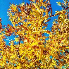 #fallcolors #fallinthewinter #azlife #sunshine #sunnyday #changingcolors #leavesturning  #sunshineyellow #yellow #shadesofyellow Reposted Via @d_a_s81