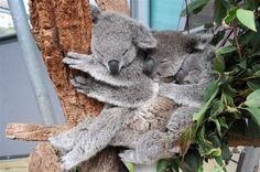 three koalas sleeping
