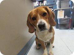 Corona, CA - Beagle Mix. Meet Kennel 11, a dog for adoption. http://www.adoptapet.com/pet/12621862-corona-california-beagle-mix