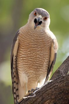 Shikra (Accipiter badius) is a small bird of prey in the family Accipitridae…