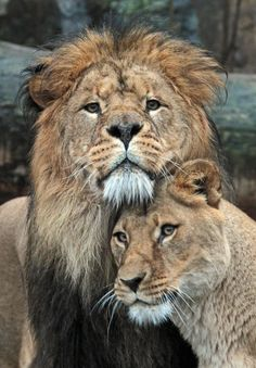 Lion Love - Lion Couple standing, cuddling - Close-up Portrait Animals And Pets, Baby Animals, Cute Animals, Wild Animals, Funny Animals, Lion Pictures, Animal Pictures, Daily Pictures, Beautiful Cats