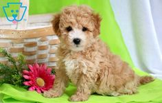 Look at this adorable face! She is a real charmer so you will not be able to say no to her. This Maltipoo puppy is raised with children, super social, Maltipoo Puppies For Sale, Mini Poodles, Thing 1, Cuddle Buddy, Fun Loving, Design Development, Cute Baby Animals, Tulip, 1 Year
