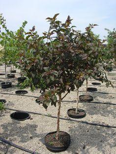 Patio Trees | Diabolou0027 Ninebark Has More Than 9 Lives