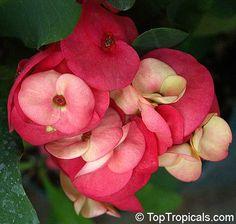 Thai Crown of Thorns Plants - Google'da Ara