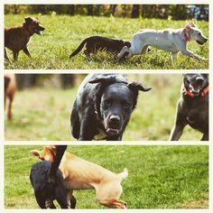 Frankie running freeeeee! #evasplaypupsPA #dogs #dogcamp #happytails #dogsinnature #runfree #runlikethewind #blackbeauty #letsgetreadytorumble #dogsocialization #itsadogslife #brooklyndogs #autumntime #muttigrees #dogsofinstagram #instapup #instadog #doggyvacays #doggievacays #dogboarding #pleasantmount #northeasternpa #PA #pennsylvania