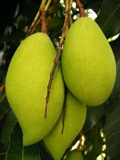 The mango is very common on the island.