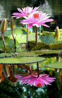 water lillies for bottom right Water Flowers, Water Plants, Tropical Flowers, Beautiful Flowers, Water Water, Water Lilies Painting, Lily Painting, Ikebana, Nymphaea Lotus