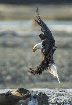 着陸するハクトウワシ(米国アラスカ州)