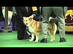 Icelandic Sheepdog Dog Show 2016 WKC Westminster Kennel Club