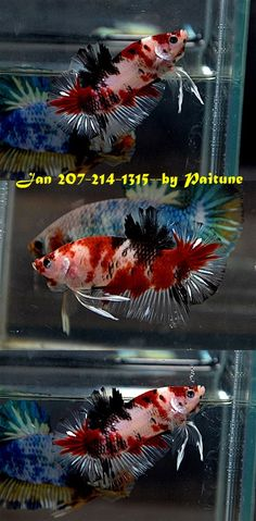 fwbettashmp1421445236 - KOI OHMPK MALE JAN 207-214-1315