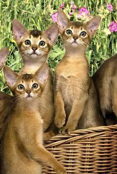 Abyssinian kitties