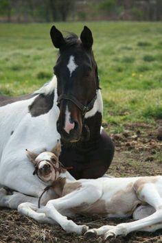 Pinto horses awww adorable