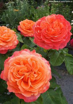 Shrub Rose 'Emilien Guillot' rosa