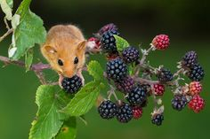 tiny-creatures: Moscardino - Hazel Dormouse by Fabrizio Moglia. Woodland Creatures, Woodland Animals, Woodland Critters, Funny Animals, Cute Animals, Pet Mice, Cats For Sale, Nature Drawing, Cute Mouse