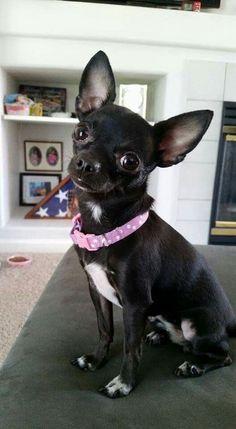 Chihuahua : #chihuahua :)