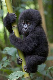 This is a cute little baby Mountain Gorilla, sometimes called Virunga Gorillas for the mountain area of Uganda where many of them live. How sweet!