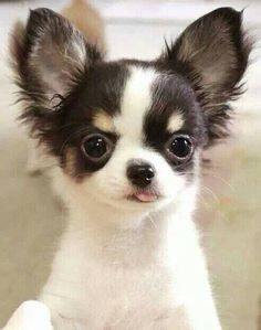 Effective Potty Training Chihuahua Consistency Is Key Ideas. Brilliant Potty Training Chihuahua Consistency Is Key Ideas. Teacup Chihuahua, Chihuahua Love, Chihuahua Puppies, Cute Puppies, Dogs And Puppies, Doggies, Long Haired Chihuahua, Cute Baby Animals, Animals And Pets