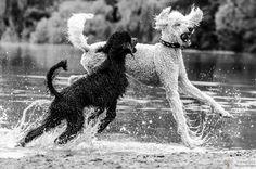 Poodle Splash!!