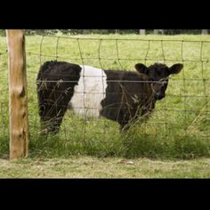 "Belted Galloway Cow!! ""Oreo"""