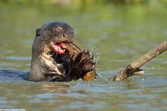 The Giant River Otter (Pteronura brasiliensis) is an endangered animal, but fortunately quite common in the Pantanal, where their population is actually growing back. I shot this one eating a fish during our last Jaguar Photo Tour to the Pantanal.