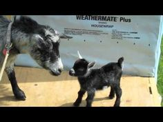 """From Crafty Farm Girl : """"This is a video I made when Kiki and Grace, my newborn Nigerian Dwarf goats, were just 4 days old. Their mother died from toxemia shortly after their birth, and I raised them on bottles since they were 12 hours old.""""      Baby goats are bouncy and full of energy."""
