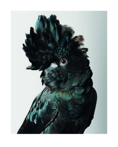 Leila #Jeffreys, 'Pete' Red-Tailed Black Cockatoo, 2012, Photograph on archival fibre based cotton rag paper, Ed 6, 140 x 111 cm or Ed. 50 91 x 72 cm display