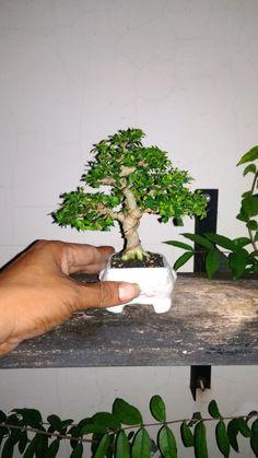 Wrigthia Religiosa h=11cm
