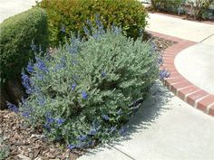 Image from http://www.avondale.watersavingplants.com/PlantMaster/Photos/2252a.jpg.
