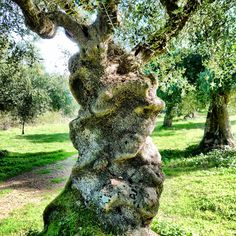 Blessed Olive tree