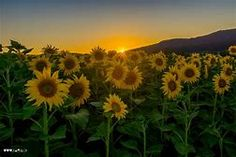 Sonnenblumen - Bing images Sunflower Fields, Felder, Iphone Wallpaper, Bing Images, Sunset, Nature, Plants, Outdoor, Inspiration