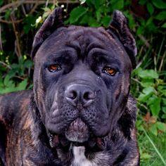 Cane Corso's are such beautiful dogs! Cane Corso Italian Mastiff, Cane Corso Mastiff, Cane Corso Dog, Mastiff Breeds, Bulldog Breeds, Black Cane Corso, Cane Corso Kennel, Black Pitbull, Presa Canario