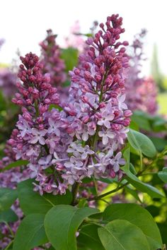 the smell of lilacs remind me of my grandmother, which always  makes me happy.