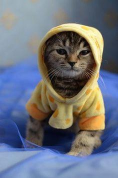 kitten in a hoodie