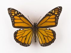 Danaus plexippus, monarch butterfly, dried specimen