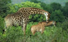 .Mama giraffe and youngster