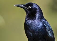 Great-tailed Grackle Photo