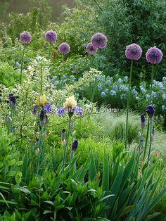 Late spring perennial garden with 'Gladiator' ornamental onion (Allium 'Gladiator') and 'Edith Wolford' hybrid bearded iris