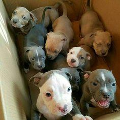 pitbull puppy make me happy pitbull ever. pitbulls with blue eyes,cutest pitbull puppies ever,cutest pitbull ever,puppy puppy puppy,puppy meme.pit bull puppy make me happy. Cute Funny Animals, Cute Baby Animals, Animals And Pets, Beautiful Dogs, Animals Beautiful, Amazing Dogs, Cute Dogs And Puppies, Doggies, Pit Bull Puppies