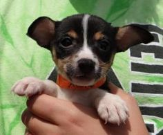 ROSIE is an adoptable Toy Fox Terrier Dog in Ravenna, OH. PLEASE FOLLOW THE DIRECTIONS BELOW BEFORE EMAILING US: Please visit our main website at www.a1k9rescue.com for more info, pictures, and adopti...