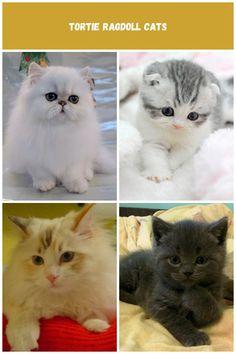 Persian kittens Breeds Kitten Breeds, Persian Kittens, Baking, Cats, Animals, Gatos, Animaux, Bakken, Animales