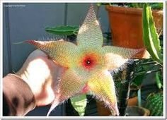Image result for large spiky succulent