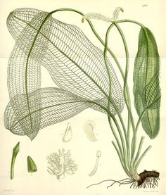 Madagascar lace plant (Sir William Jackson Hooker, 1856/Curtis's botanical magazine vol. 82)