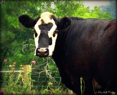 Black Baldy cow - cross between a Hereford and an Angus