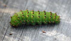 Perhosen toukka